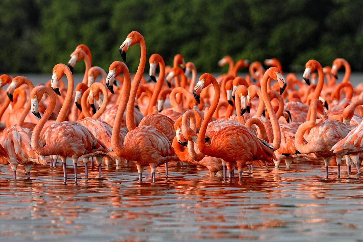 Celestun Flamingos-1